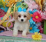 www.cavachonsbydesign.com Cavachon puppies for sale, Cavachon, Cavachons, Cavachon dog, Cavachon pups, Cavachon pup, Cavachons dogs for sale, Cavachon puppies, Cavachons for sale, Cavachon breeder, Cavachon breeders, Bichon Cavachon Puppies, Dogs For Sale, Animals And Pets, Design, Pets