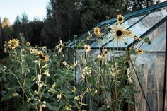 Here´s my sunflower field :D Sunflower Fields, Organic Living, Green Life, Lifestyle, Garden, Plants, Outdoor, Outdoors, Garten