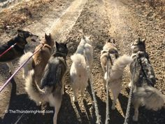 Another great sign of us getting back to normal - a group walk - and Typhoon being Typhoon. #dog #siberianhusky #husky
