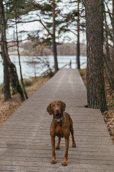 Hungarian Vizsla, Dog Best Friend, Hunting Dogs, Working Dogs, Dog Breeds, Vizsla Dog, Photo And Video, Pets, Future House