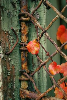Rustic Fence, the colors are beautiful, they compliment perfectly