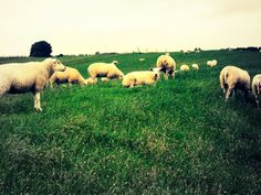 Sheep by swapthat on DeviantArt Sheep, Deviantart, Photography, Animals, Photograph, Animaux, Photography Business, Photoshoot, Animal