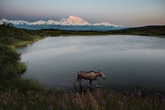 Summer sunsets at Denali National Park and Preserve in Alaska are truly special. Kent Miller snapped this dream-like photo two days ago of a moose walking along Reflection Pond. In the background, the top of Denali is illuminated by the setting sun at midnight. Photo by Kent Miller, National Park Service.
