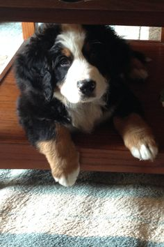 Günter #bernesemountaindog #dog #puppy
