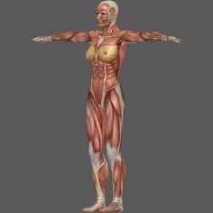 torso side view muscle anatomy woman - Google Search