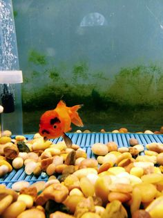 What a grumpy goldfish