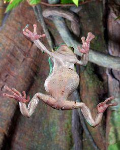 National Aquarium – Giant tree frog