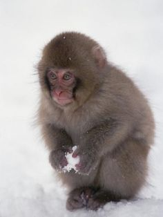 Snow Macaque, $3,500  Also known as Japanese Macaque, this primate is the one of the only mammals that washes its food before eating it! It is the only monkey to live far north and is considered an endangered species. Its purchase is rare and needs to be licensed.