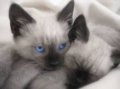 We Are Siamese if You Please~