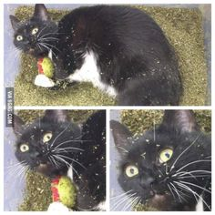 This cat found a pound of cat nip. happy 420