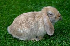The breeding of lop-eared rabbits has created animals more prone to ear and dental problems, similar to the way that short-muzzled dogs like pugs suffer Dental Problems, Health Problems, Veterinary Colleges, Animal Welfare, Livestock, Pugs, Wildlife, Bunny, Creatures