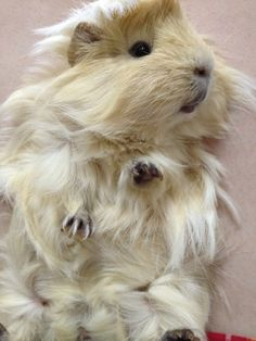 guineapigandco:    The adorable Mika  submitted by skyhighflight  Such fantastic fur!!!