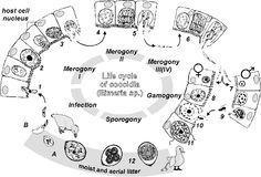 life cycle of Coccidia