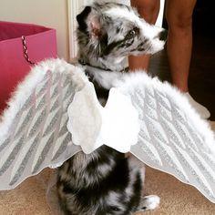 Pi Beta Phi angel pup! #piphi #pibetaphi