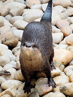 River Otter DSCF2593 by TheSocialEngineer on Flickr.