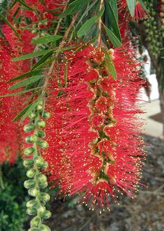 Callistemon Viminalis Hannah Ray Bottlebrush From Greenleaf Nursery Possibly Grow