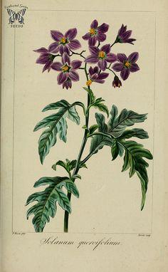 Solanum quercifolium syn. Solanum septemlobum. Herbier général de l'amateur, vol. 8 (1817-1827) [P. Bessa]