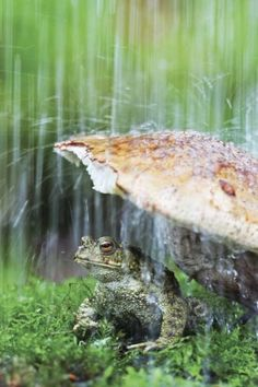 Frog staying dry under a toad stool Sound Of Rain, Singing In The Rain, Rain Go Away, Frog And Toad, Tier Fotos, Reptiles And Amphibians, Getting Wet, Rainy Days, Animal Kingdom