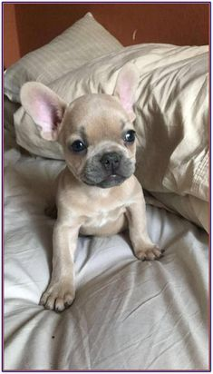 The major breeds of bulldogs are English bulldog, American bulldog, and French bulldog. The bulldog has a broad shoulder which matches with the head. Cute Puppies, Cute Dogs, Dogs And Puppies, Doggies, Puppies Tips, Blue Fawn French Bulldog, Blue Bulldog, Cute Baby Animals, Fur Babies