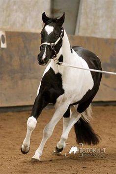 Paint Horse Stallion Noticed - Black Tobiano