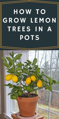 Lemon Tree Potted, Potted Trees, Trees To Plant, Indoor Lemon Tree, Lemon Plant, Indoor Vegetable Gardening, Organic Gardening, Container Gardening, Indoor Garden