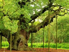 """The Wedding Tree"" Sherwood Forest, England whet he proposed, the wedding sure isn't too far away from here to :)"