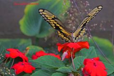 Impatient Butterfly by muchobellasartes on Etsy