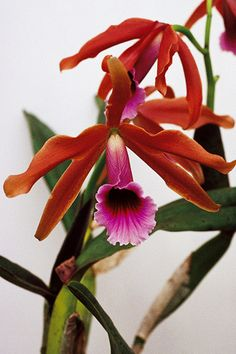 Laelia tenebrosa is a fragrant flowered species from Brazil - Flickr - Photo Sharing!