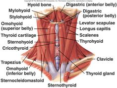 Mylohyoid Muscle   HUMAN MUSCULAR SYSTEM