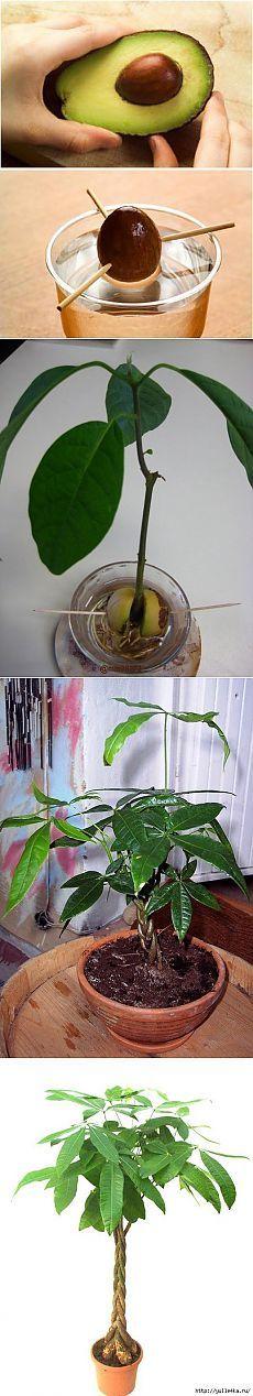 Как вырастить авокадо.