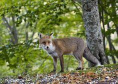 Fox by renatuzzo
