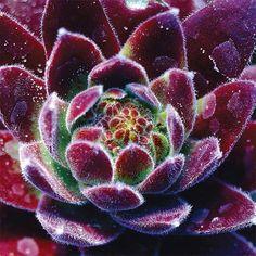 Royal Ruby Sempervivum