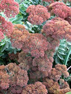 Sedum A tough, drought-tolerant perennial known for its wide range of foliage and flower types and its versatility. Varieties include low-growing, ground cover or taller, perennial border types. Depending on the species and cultivar, buds appear spring to fall and flowers can be found in white, pink, yellow, orange, red or purple. Attracts butterflies. Plant in full sun with well-drained soil. USDA Hardiness Zones: 3 to 10 (Pictured: 'Autumn Joy')