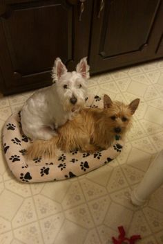 Our Westie and Cairn Terriers