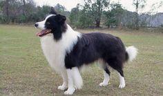 Border Collie Dog Breed Information. I've always wanted one. Bonus: Border Collie's were named #1 smartest dog breed!