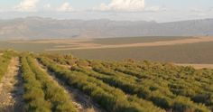 The South African Rooibos Council Vineyard, African, Tea, Outdoor, Outdoors, Vine Yard, Vineyard Vines, Outdoor Games, The Great Outdoors