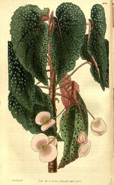 Begonia dipetala Graham