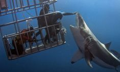 we offer diving trips to guadalupe island in mexico. Cage diving with great white sharks in guadalupe island Orcas, Shark News, Big Great White Shark, Ocean Monsters, Guadalupe Island, Shark Cage, Fauna Marina, Shark Photos, Deep Sea Diver