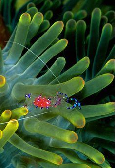 100leaguesunderthesea:    Anemone Shrimp byScottS101/