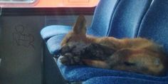 Fox Takes A Nap On Ottawa City Bus. Is Ridiculously Cute