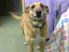 Senior - Please Adopt and Love Them 'til The End - Friends of Freddie - Saving Devore Shelter Animals Page Liked · 9 hrs ·   ·  CALLIE - ID#A620244 (available 3/27) **OWNER SURRENDER**  I am a spayed female, brown and white Shepherd and Labrador Retriever.  The shelter staff think I am about 11 years old.... See More — with Maryann Yoppolo, Debra Ciampanelli, Kelly Smíšek and 34 others at Devore Shelter at 19777 Shelter Way, Devore, CA 92407 in San Bernardino County, CA 92407: (909)…