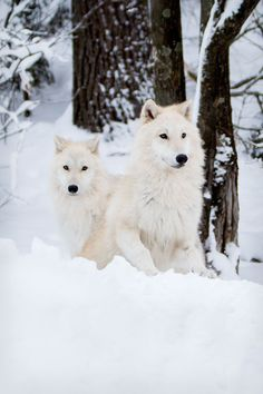 Winter Pups - Arctic Wolves, Grayson (left) and Axel