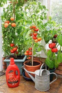 Consigli e idee per la coltivazione dei pomodori nel giardino di casa, nell' orto , o in vaso , su terrazzi e balconi. Vedremo come pi...
