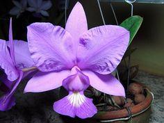 Cattleya mesquitae: Cattleya walkeriana x Cattleya nobilior