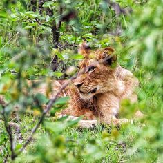 """""""A lion watching & waiting during one of the few hours it's awake every day. #animals #nature"""""""
