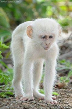 Vervet monkey  #provestra