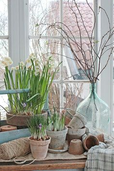 Beautiful spring paperwhites in pots and vintage light blue jugs with branches of forsythia twine white potting shed