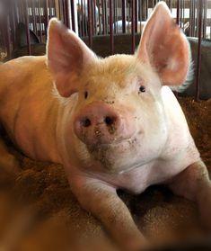 Farm Animals - September - Pigs - Farm Animals - September - Pigs - The . - Farm Animals – September – Pigs – Farm Animals – September – Pigs – The Windy Lilac – - Baby Farm Animals, Barnyard Animals, Cute Animals, Cute Baby Pigs, Cute Piggies, Teacup Pigs, Show Cattle, Pig Farming, Mini Pigs