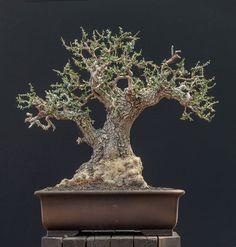 Olea oleaster #05 #bonsaitrees