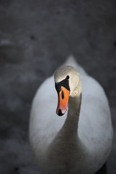 Friendly Swan